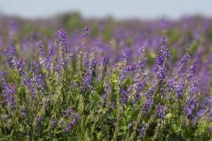 Трава галега лекарственная